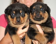 Multiple Champion German Rottweiler Puppies Available!!